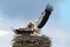 Weissstorch im Nest von Hans Schoenecker - LBV Bildarchiv