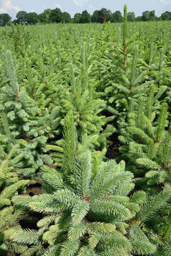 Blaufichte zum Aufpflanzen von Weihnachtsbäume