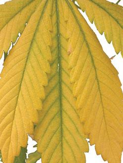 Stickstoffmangel Gelbes Hanfblatt