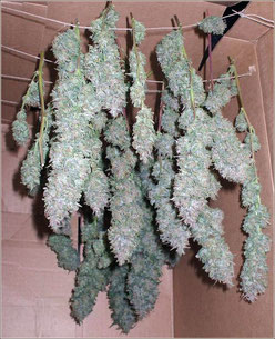 Hanf (Cannabis) Blüten (Buds) zum trocknen in Karton (Schachtel)