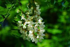 A la cime du rucher, miel d'acacia