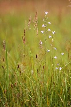 Glockenblumen sind Zeigerarten extensiv bewirtschafteter Wiesen. Foto: A-M Kölbach