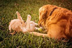 un chien adulte marron adulte joue avec un chiot cocker marron par coach canin 16 éducateur canin en charente