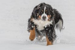 un chien bouvier bernois marron, noir et blanc courre dans la neige par coach canin 16 éducateur canin en charente