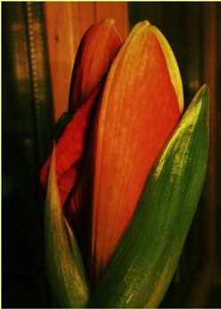 Geschlossene Amaryllis