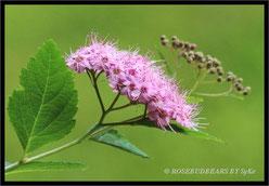 Japanischer Spierstrauch - spiraea japonica