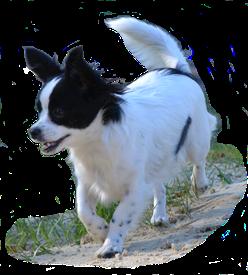 Chihuahua-Mix auf der Seite Kontakt der Hundeschule MOMO - Hundeschule Bremen & Lilienthal