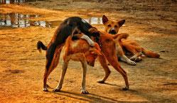 Le chien dans l'histoire du Nord-Togo