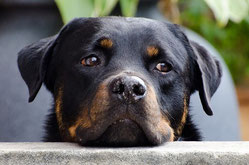 Loi sur les chiens dangereux