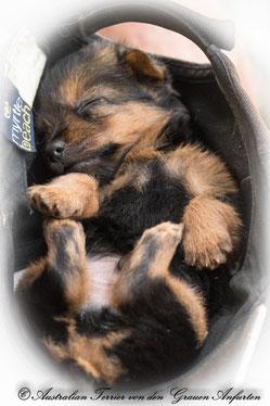 Australian Terrier Welpe Von den Grauen Anfurten schläft