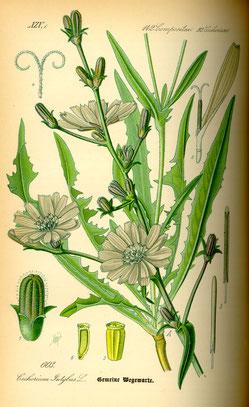 Illustration Wegwarte (Cichorium intybus) - www.BioLib.de