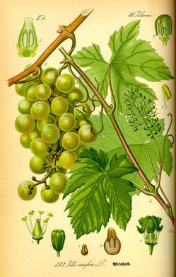 Illustration Wein (Vitis vinifera) - www.BioLib.de
