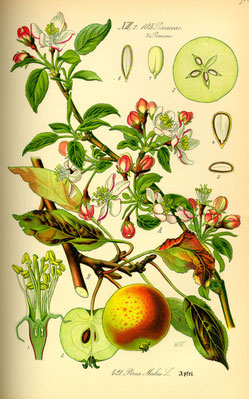 Illustration Apfel (Malus) - www.BioLib.de