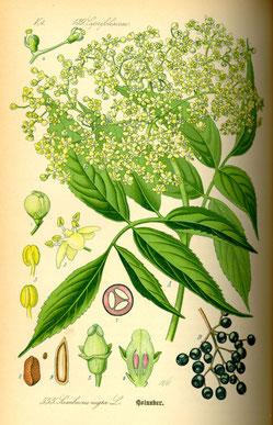 Illustration Schwarzer Holunder (Sambucus nigra) - www.BioLib.de