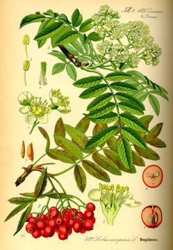 Illustration Vogelbeere (Sorbus aucuparia) - www.BioLib.de