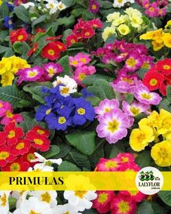 PRIMULAS EN TENERIFE