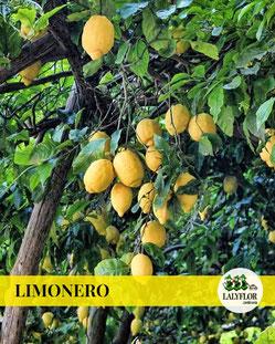 ARBOL FRUTAL LIMONERO EN TENERIFE