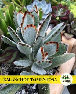 KALANCHOE TOMENTOSA EN TENERIFE