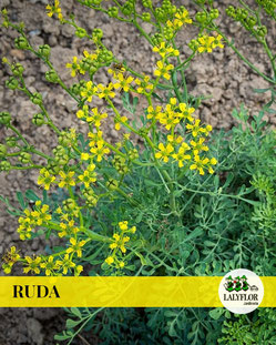 RUDA EN TENERIFE