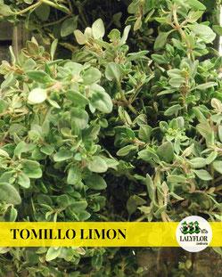 TOMILLO DE LIMON EN TENERIFE
