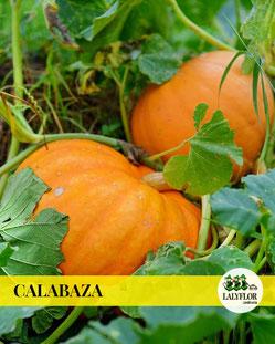 CALABAZA - SEMILLEROS Y HORTALIZAS EN TENERIFE