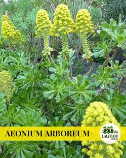 AEONIUM ARBOREUM EN TENERIFE