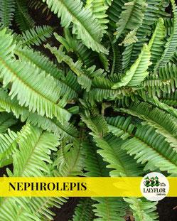 NEPHROLEPIS EN TENERIFE