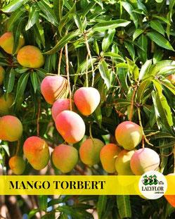 ARBOL FRUTAL MANGO TORBERT EN TENERIFE