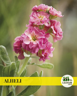 ALHELI EN TENERIFE