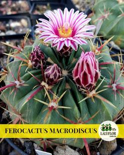 FEROCACTUS MACRODISCUS EN TENERIFE