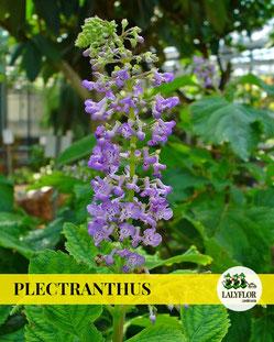 PLECTRANTHUS EN TENERIFE