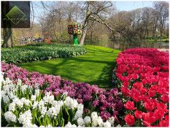 Parterre de jacinthes et tulipes au printemps. Photo prise lors d'une de nos visites à Keukenhof ©Plastiflor