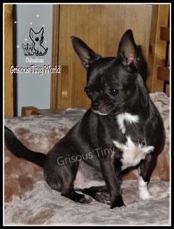 Photo d'une jeune femelle Chihuahua noire