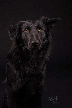 Janno, kroatischer Schäferhund