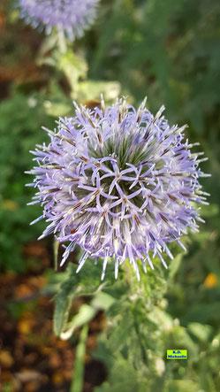Einzelner Blütenstand der blauen Kugeldistel von K.D. Michaelis