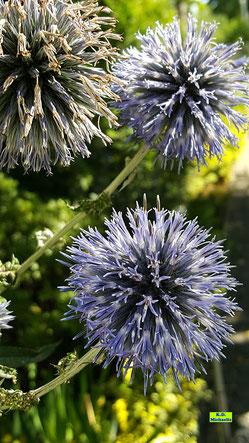 Blütenstände der blauen Kugeldistel von K.D. Michaelis