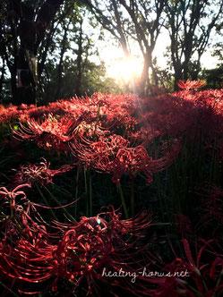 cluster amaryllis in Nogawa park