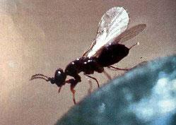le blastophage agent de pollinisation