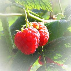 Bieger's Himbeeren für Marmeladen und Desserts aus dem eigenem Garten in Rothenbühl.