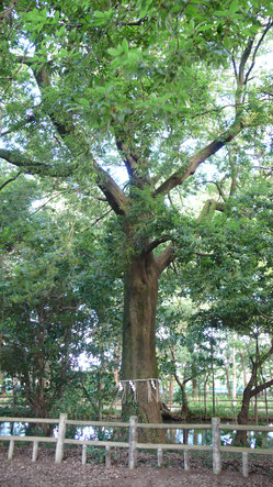 武蔵国を支えるご神木に10年以上、毎年2回のツアーで、しめ縄を奉納しています。