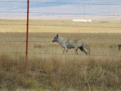 ein Coyote in Straßennähe