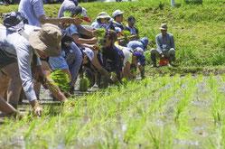 田畑オーナー制度の稲刈り
