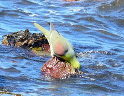 海水を飲むアオバト(村櫛海岸にて)