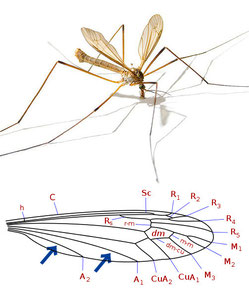Tipula paludosa (above), Wing Vein of Tipulidae (below)