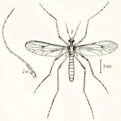 Dixa maculata (Walker, 1856)