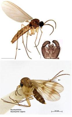 Leptosciarella subspinulosa, Sciaridae (above)、Mycetophila vulgaris, Mycetophilidae (below)