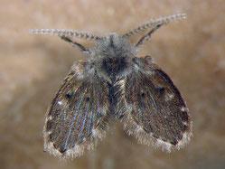 Psychodidae sp.
