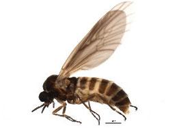 Axymyiidae sp.