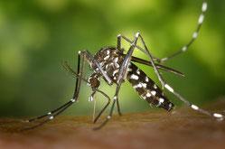 ヒトスジシマカ Aedes albopictus (カ科)
