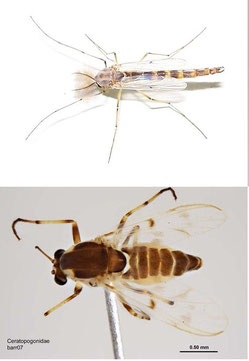 Chironomidae (above), Ceratopogonidae (below)
